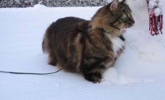 Habituez votre chat à porter un harnais