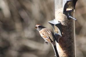 American_Tree_Sparrow_Least-Concern_Carla_Sbert