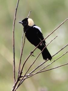 Bobolink_Threatened_Central-Prairie_Kenneth_Cole_Scheider
