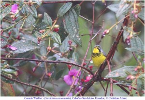 Canada_Warbler_Threatened_Atlantic-Central-Prairie_Christian_Artuso
