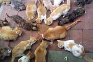 Feral_Cats_Feeding_Credit_Scott_Grannerman