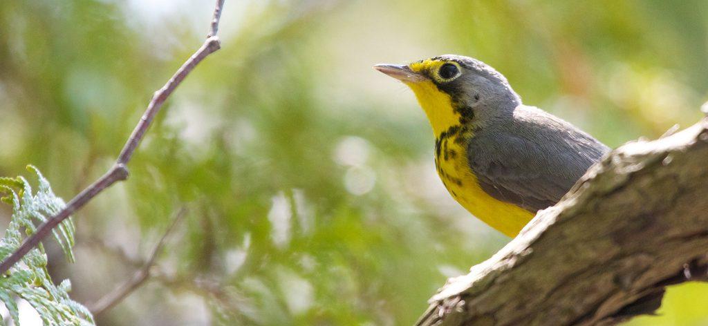 Canada Warbler: 4 Ways to Help