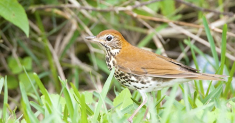 Wood Thrush Species Profile