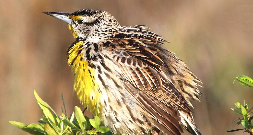meadowlark-cropped