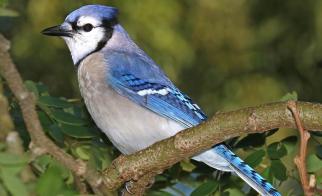 5 Weird Facts about Blue Jays