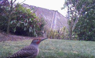 A Trail Cam Backyard Cat-Bird Initiative
