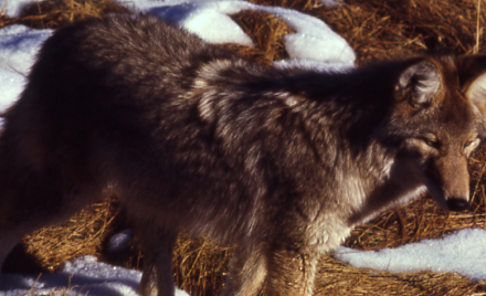 Are Coyotes a Significant Predator of Cats?