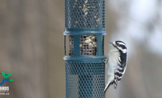 Downy Woodpeckers: Four Foods and Four Facts!