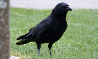 French Theme Park Employs Crows